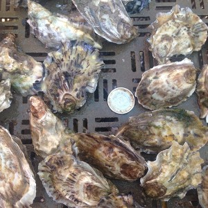 Oyster of Commercial Caliber